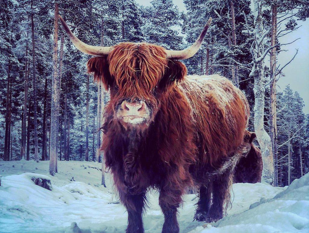 GODT LIV: Et mål med livsstilen er at dyrene skal ha det bra. Derfor har det skotske høylandsfeet fri utegang året gjennom. Sommerhalvåret tilbringer de i fjellet ved Børsjøen. Foto: Sigrid Ekran.