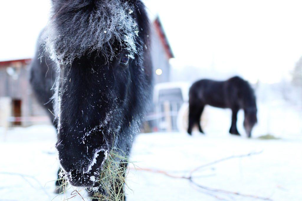 TÅLER KULDA: Islandshestene tåler kulda godt. Det er andre dyr som er langt mer utsatt når temperaturen kryper nedover. Både hunder og katter får lett frostskader på utsatte områder.