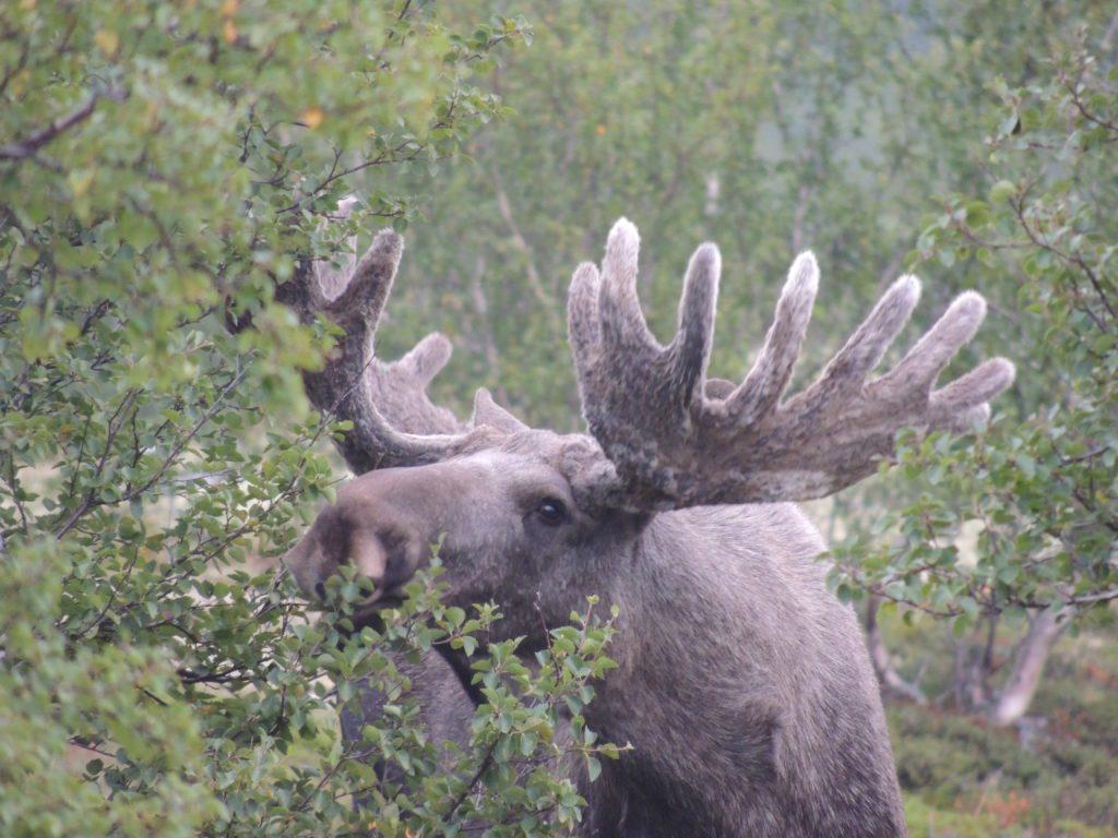 SKYTEPRØVE: Alle jegere må bestå skyteprøven hvis de ønsker å jakte på skogens konge i 2021. Fritaket fra 2020 videreføres ikke.