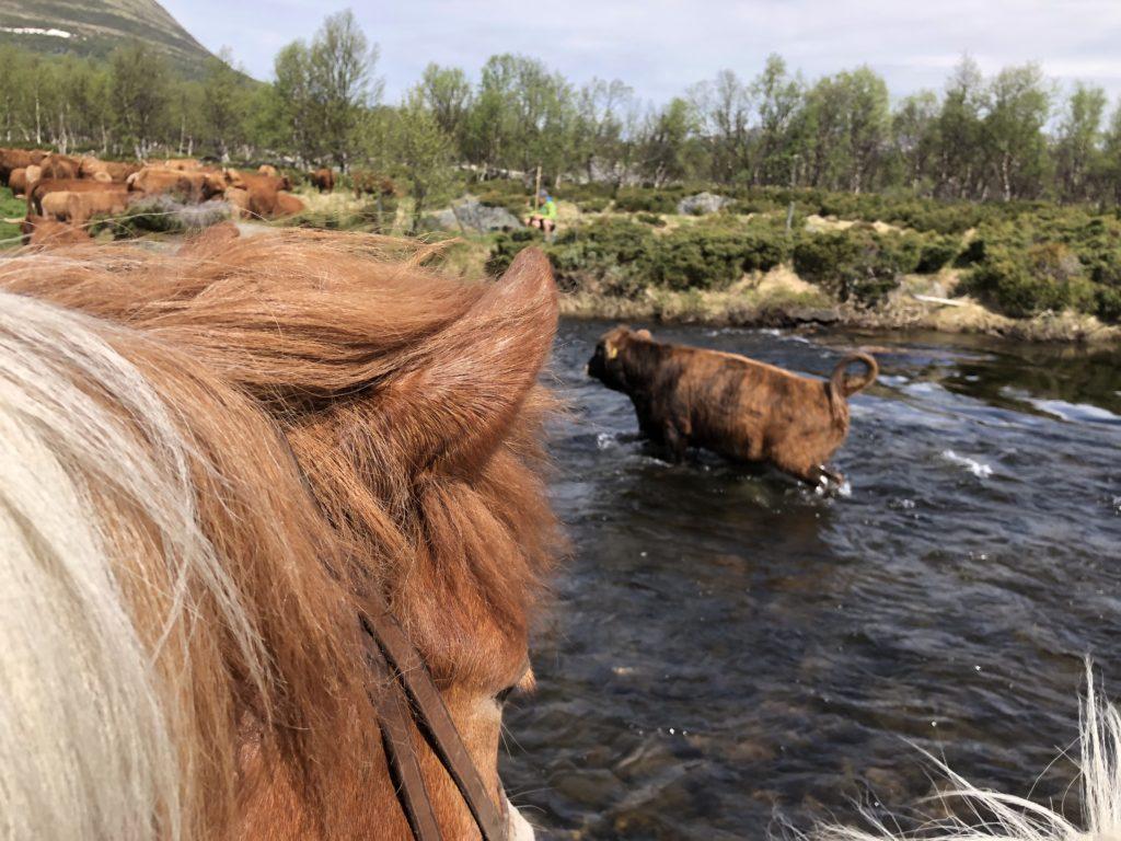 FØLGER MED: Rytterne må følge med kveget uansett hvor de går. Det gjelder over elver også. Foto: Kvistli Islandshester.